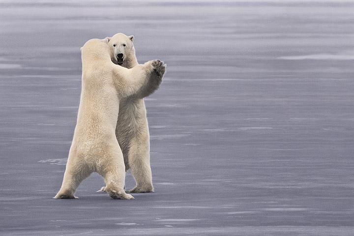 Frans Lanting Dancing Bears